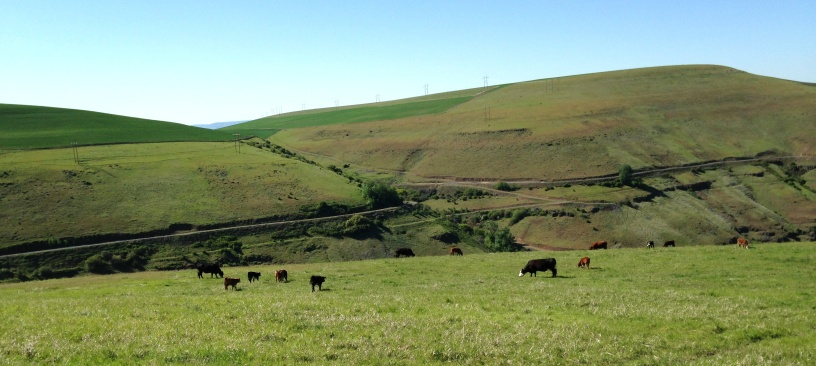Cattle Landscape 2