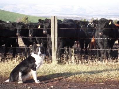 Belle's cows