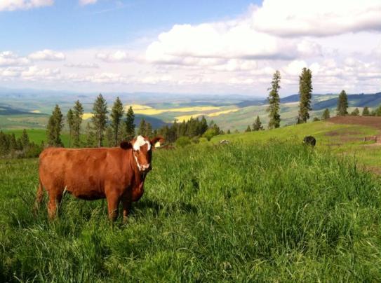 farmscape-heifer