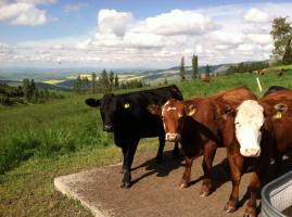 farmscape-heifer3