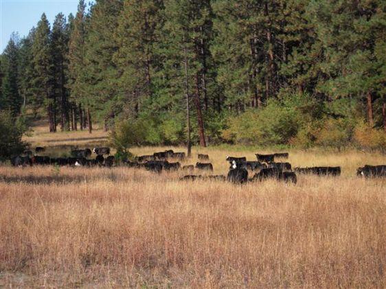 Feehan Pasture cows