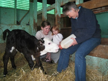 Bottle-feeding calf