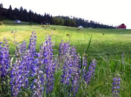 wildflower-lupine-scape